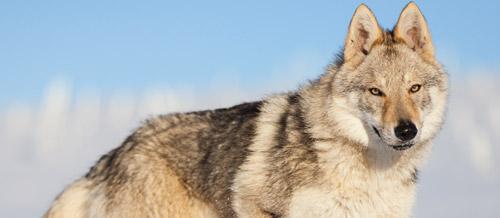 lof chien wikipédia